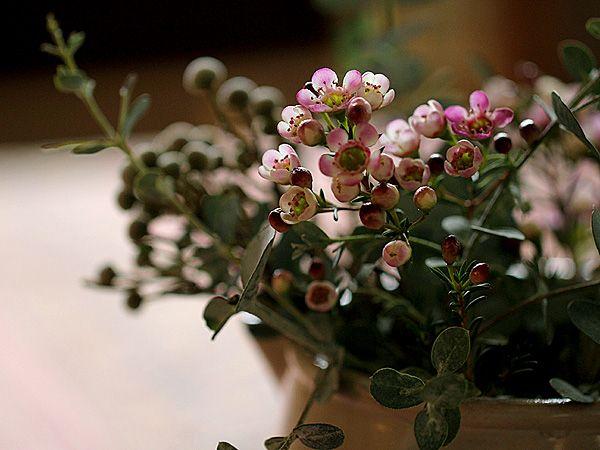 waxflowers: Gardens Splendor, Pink Flowers, Fabulous Flowers, Flore Sencilla, Call Waxflow, Winter Flowers, Friday Flowers, Wax Flowers, Photo