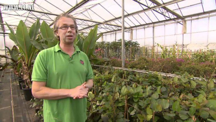 KOPlopers L1TV: Flores inTerra, bananenplanten