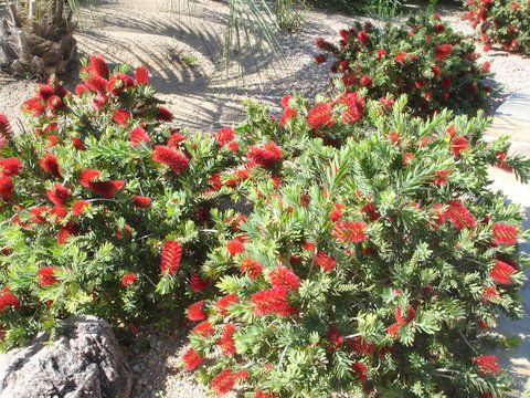 http://www.horticultureunlimited.com/wp-content/uploads/2015/04/Callistemon-citrinus-Little-John-Dwarf-Bottlebrush-1.jpg