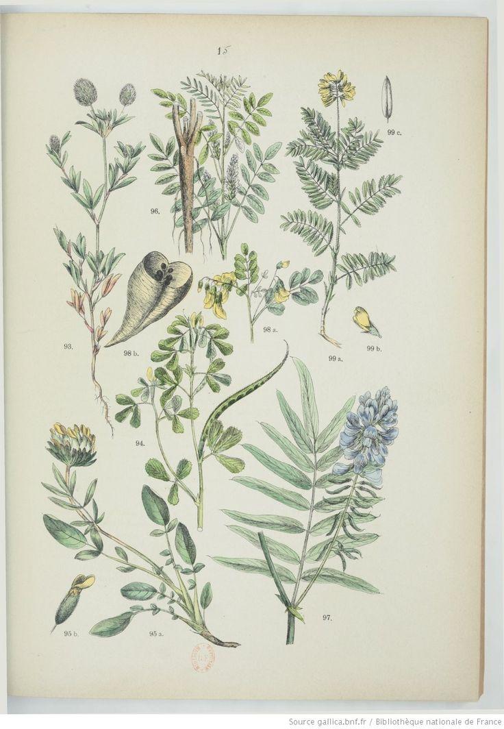 57 best Planches botaniques : Fabacées (Légumineuses) images on ...