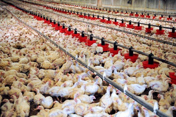 Un allevamento intensivo di polli