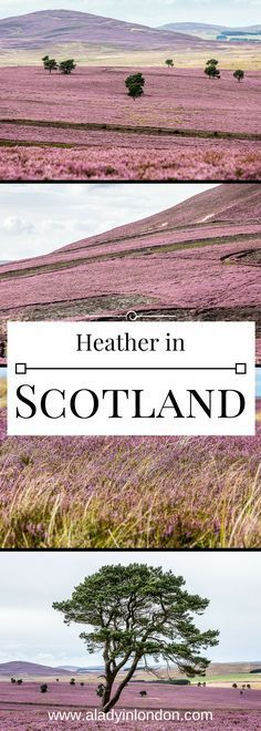 11 photos that will make you fall in love with the heather in Scotland, and where to see it if you want to go.