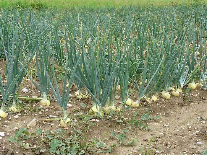 Выращивание лука через рассаду