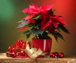 https://www.google.rs/search?q=poinsettia