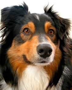The Australian Shepherd is a medium-sized, athletic dog breed who is well balanced and slightly longer than tall. He is fast and agile, with enough stamina to work all out, all day. Devoted and loyal, the Australian Shepherd enjoys pleasing his owner.