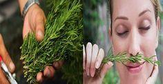 Sabias que con solo oler esta planta aumenta tu memoria en un 75 %. Veamos. - TuSalud.Info