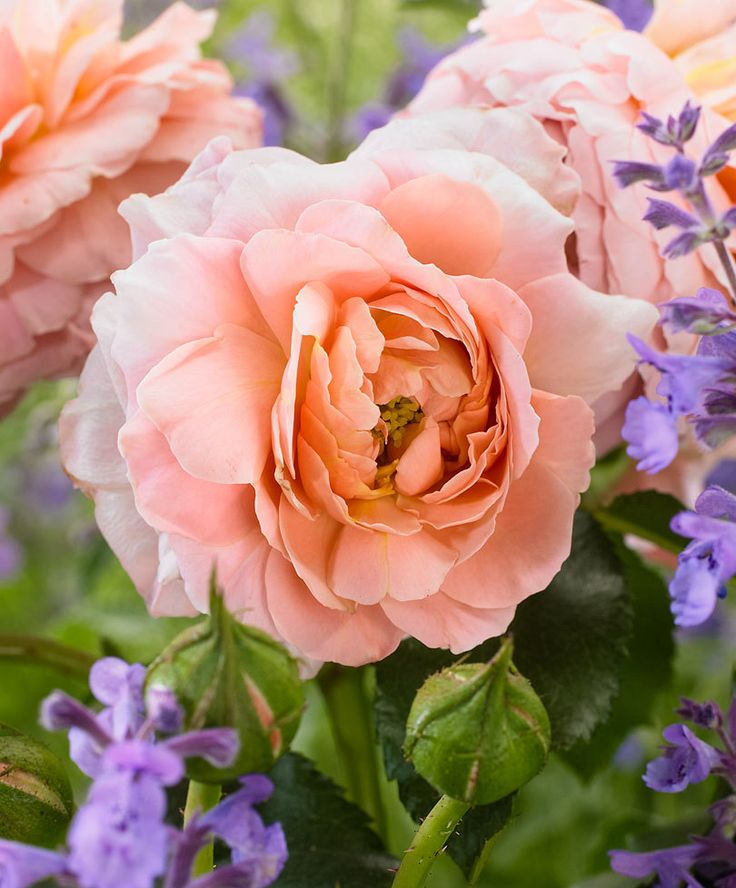 153 best rosor roses images on pinterest flowers gardening and beautiful roses. Black Bedroom Furniture Sets. Home Design Ideas
