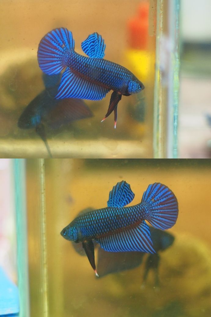 54 best images about wild bettas on pinterest for Buy betta fish