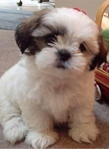 Como adestrar um shih tzu. De entre todas as raças de cachorros, o shih tzu é uma das mais dóceis e indicadas para viver dentro de casa, mesmo que se trate de um apartamento, e em contato com as crianças. É um cachorro de porte...