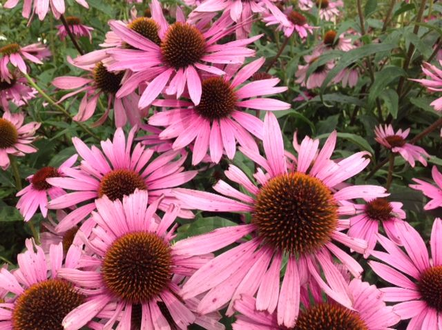 This beautiful echinacea flower not only attracts millions of butterflies, but is also very healthy, strengthening our immune system against colds.