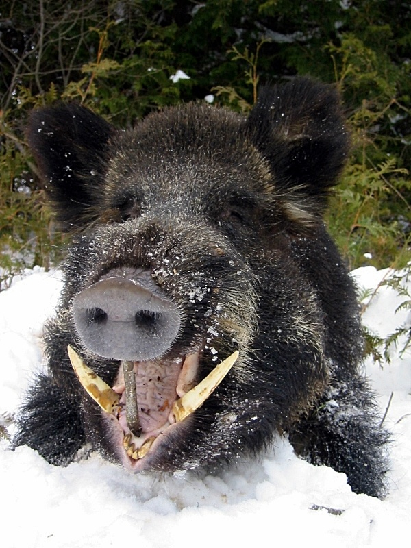 Wild Boar - want to hunt with a handgun (44 or greater, please)