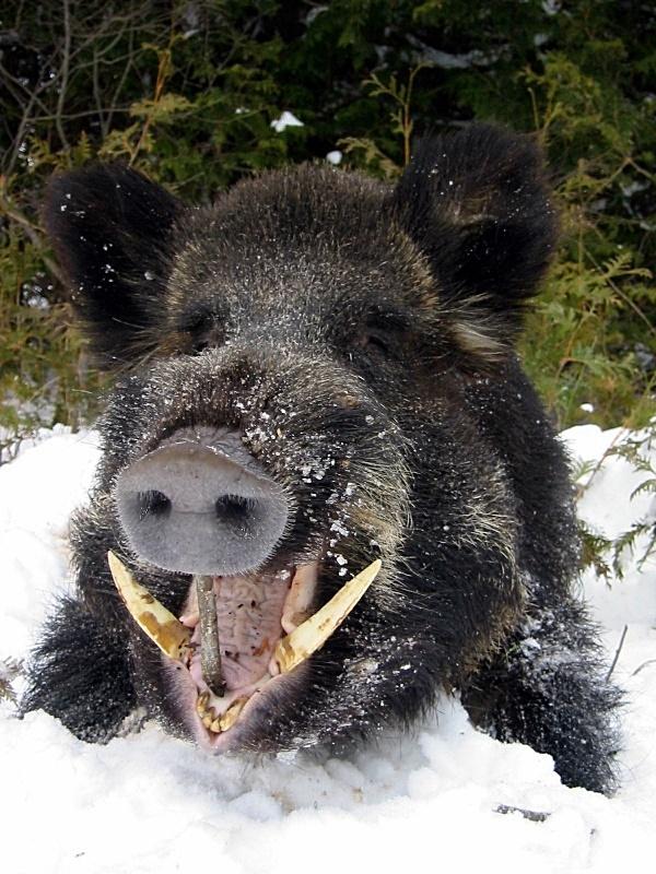 ares wild boar greek symbols pinterest wild boar