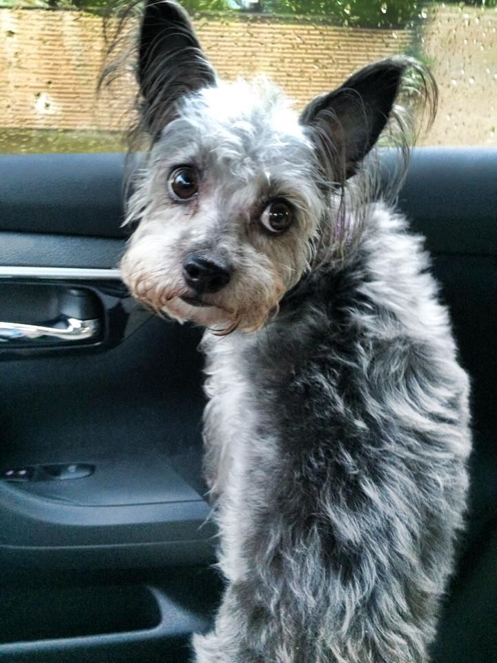 Adopt Piper on Schnauzer mix and Yorkshire terrier