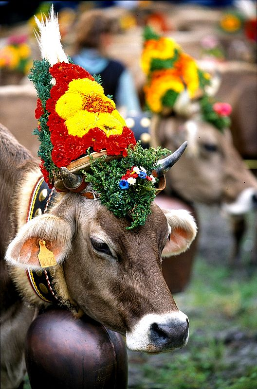 #Heidiland cow procession: Wow!