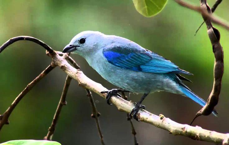Azulejo Común o Tangara Azuleja Cantando Sonido para Llamar El Mejor