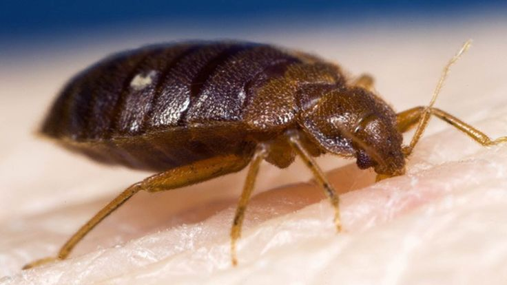 Bed Bugs Are Small Around 5mm In Size So They Are Visible To