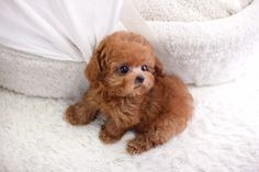 TBD - Micro Teacup Poodle Female   ITSY PUPPY   Teacup & Microteacup Puppies for Sale   ITSY PUPPYITSY PUPPY   Teacup & Microteacup Puppies for Sale   ITSY PUPPY
