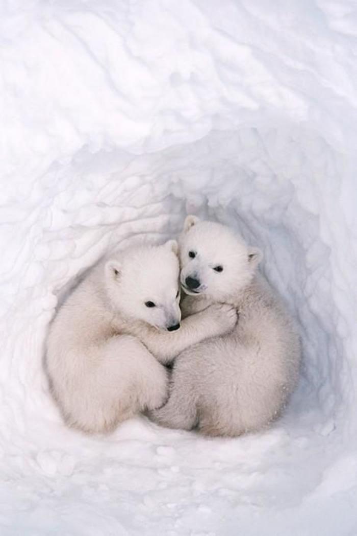 ours polaire, deux petits oursons en accolade