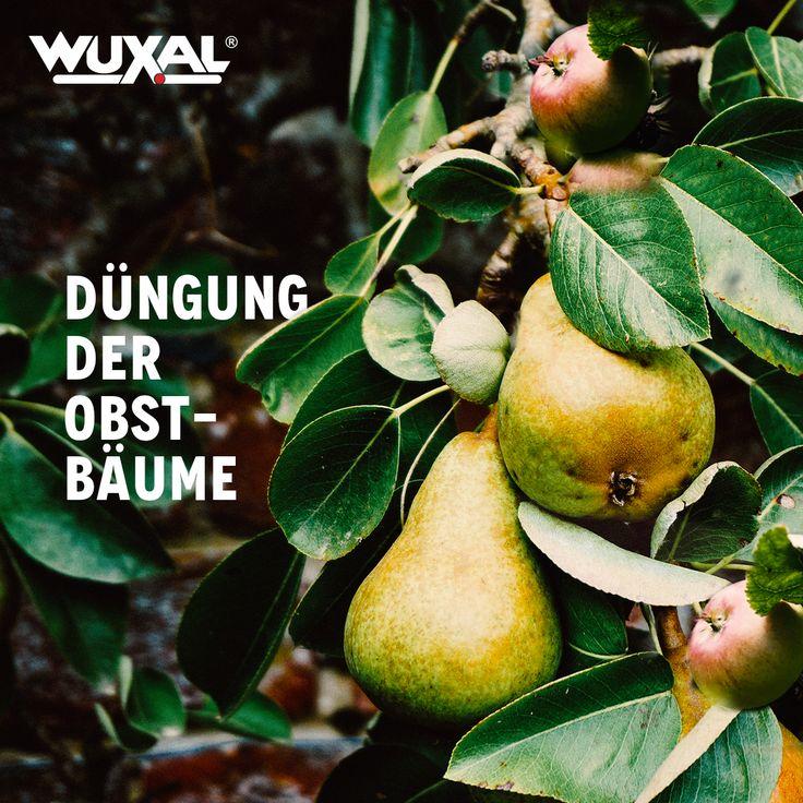 Apfel- und Birnenbäume können, solange sie noch nicht ausgetrieben sind, ausgelichtet werden. Auch um Obstbäume zu pflanze ist jetzt der richtige Zeitpunkt gekommen. Zuerst wird das frühblühende Steinobst gepflanzt wie Pfirsich, Pflaume und Kirsche und danach das Kernobst wie Apfel, Birne und Quitte. Mit der Düngung der Obstbäume kann nach einem ertragreichen Vorjahr wieder begonnen werden.