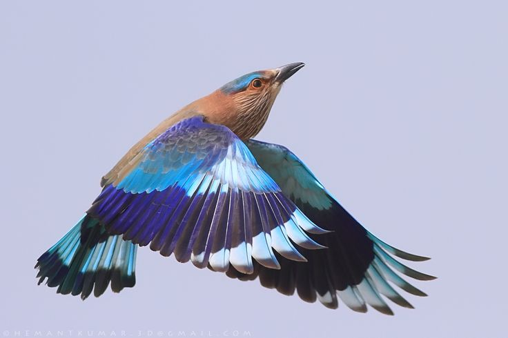 """Meet the state bird of Andhra Pradesh, Telangana, Karnataka and Odisha. The name is neelkanth, meaning """"blue throat"""", a name associated with the deity Shiva (who drank poison resulting in the blue throat). Another local name in Telugu is paala pitta. Adding its chopped feathers to grass and feeding them to cows was believed to increase their milk yield."""