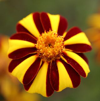 "Marigold 'Harlequin' - Circus tent flowers that measure 3"" across on very bushy plants 3'X3'. Heirloom variety that self sows."