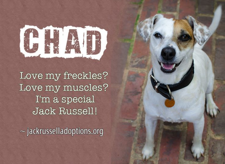 Today's featured Jack Russell rescue for adoption or sponsorship - Chad!: Jack Russell