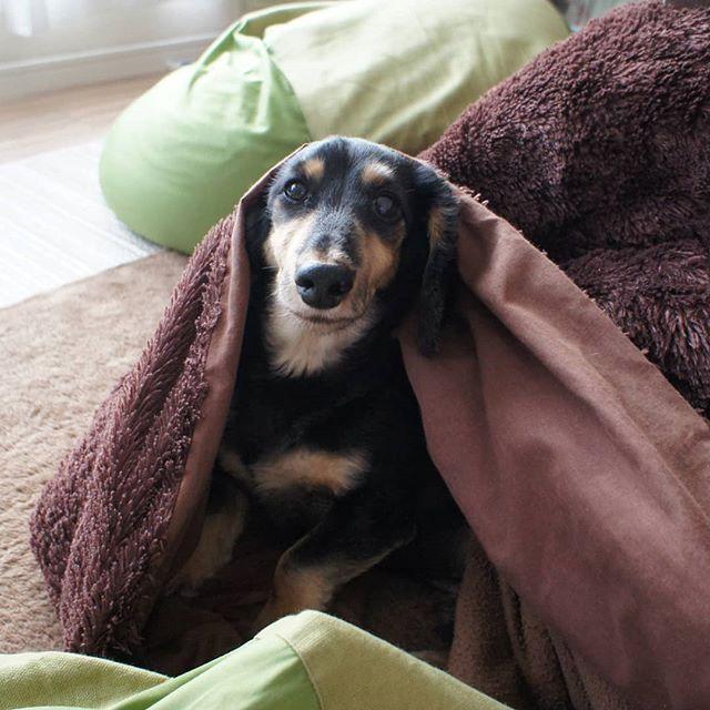 寒くても炬燵で俺は無敵!  #犬 #愛犬 #ミニチュアダックスフンド #ブラッククリーム #無印良品 #ビーズクッション #こたつ #たまに出てくる #温かいね  #dog #dogstagram #loverydog #sausagedog #dogphotography #minituredachshund #justdachshunds #total_dogs #dachshundlife #dachshundlover #picsofdogmodels #k_9features #la_dog #superdog_world #pk_dogs #fever_pets #7pets_1day
