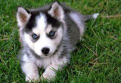a mini siberian husky <3 #siberianhusky