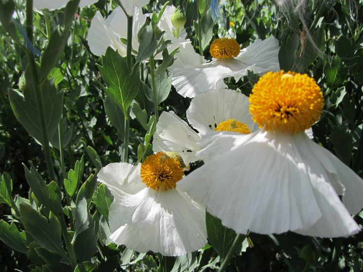 The Matilija Poppy Is A Particularly Showy California Native Flower.
