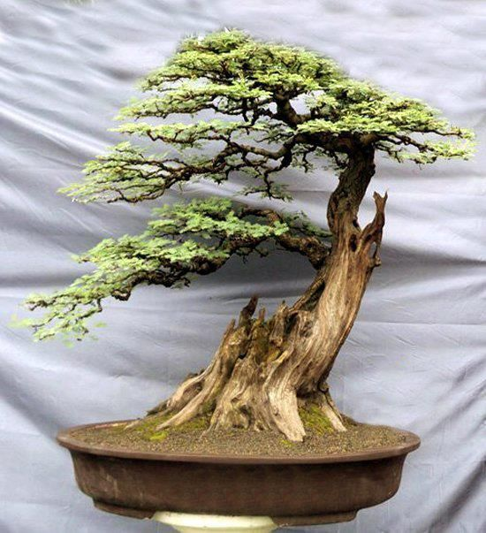 Bonsai...a survivor!! Love the deadwood trunk! Dainty leaves  excellent pruning has given the tree realistic movement
