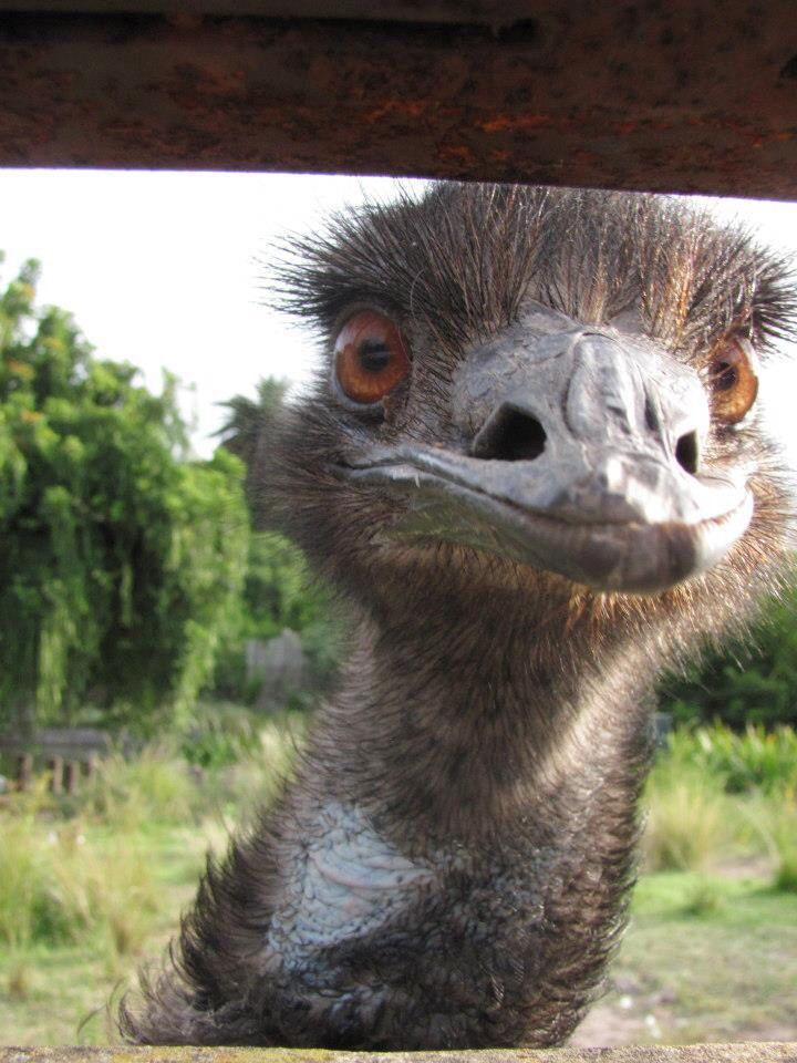 Emu. ZOO Buenos Aires, Argentina.    www.zazzle.com/vickybonifacio