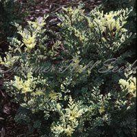 Ruta graveolens variegata