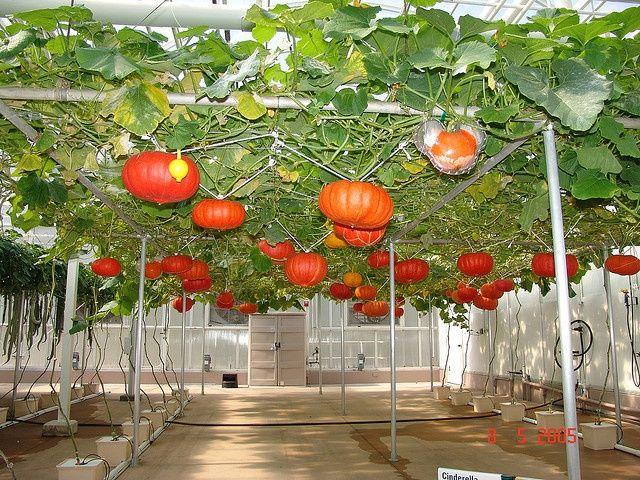 Easy To Grow Pumpkins Hydroponically Hydroponics