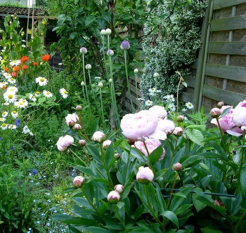 die besten 25+ pfingstrosen garten ideen auf pinterest | blumen, Gartengestaltung