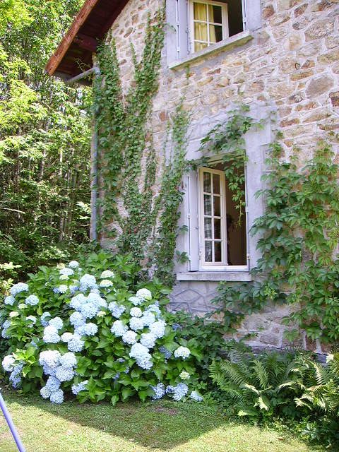 French cottage with climbing ivy and blue hydrangeas in the garden.                                                                                                                                                                                 More