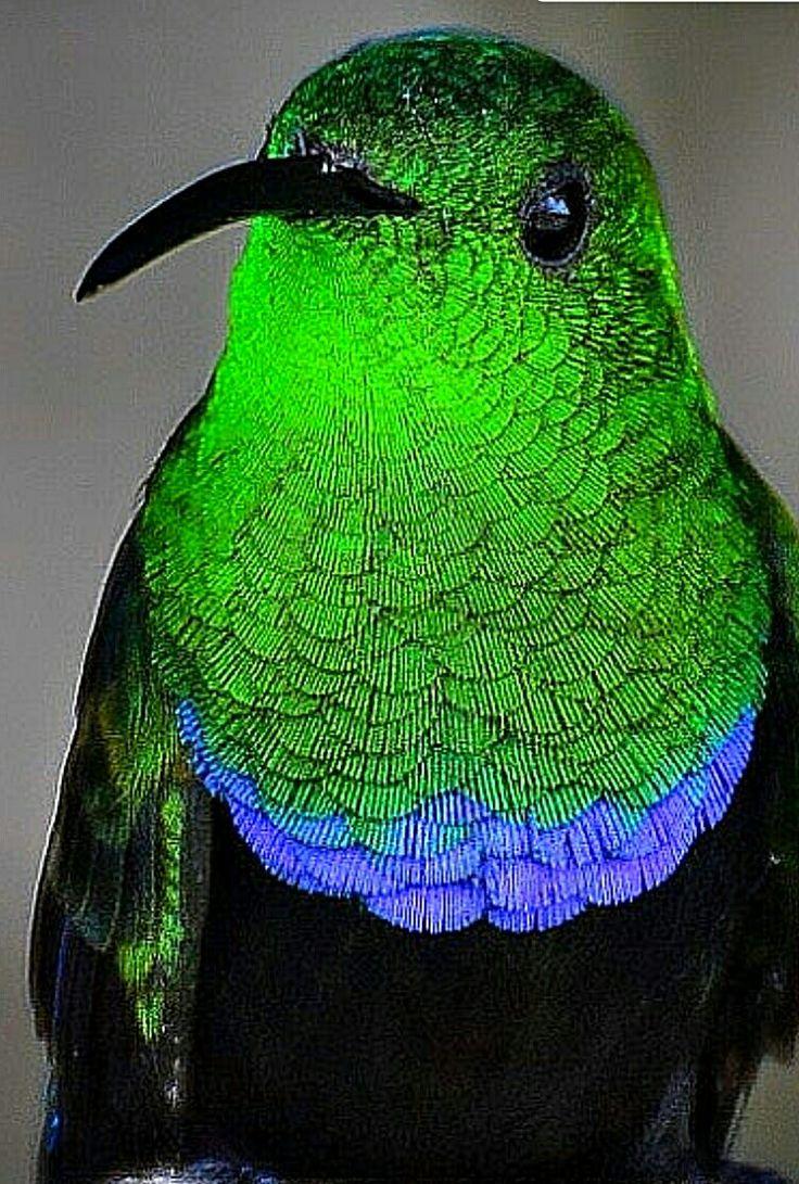 Zumbador Pechiazul Green-throated Carib