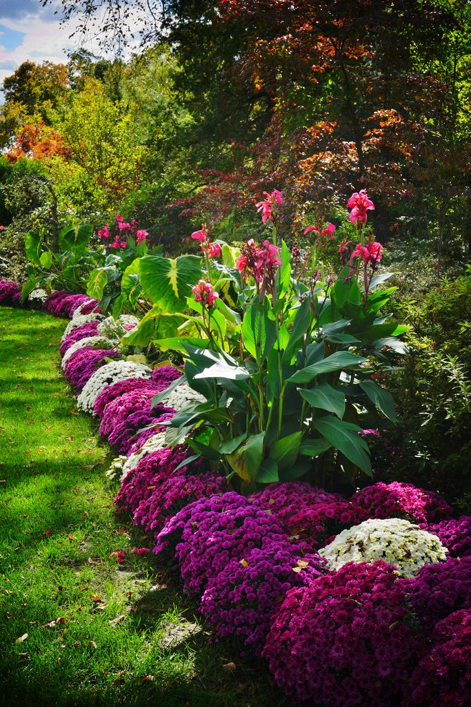 canna lily landscaping