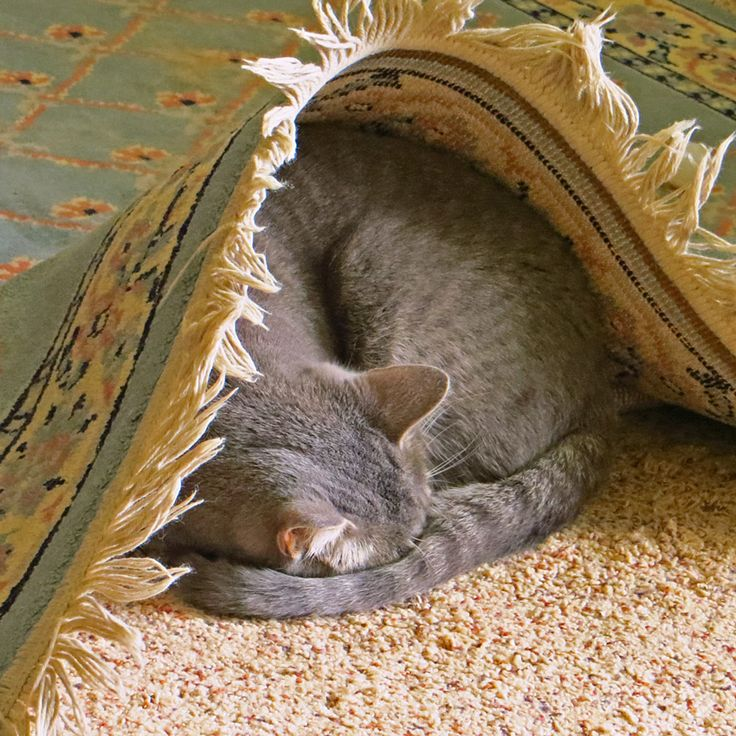 616 Best ...cat On Persian..RUG. Images On Pinterest