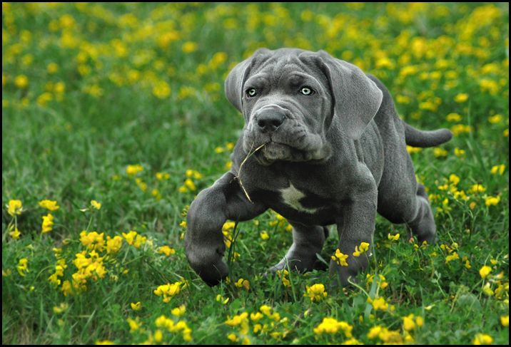 great dane bullmastiff mix | the daniff breeder great ...