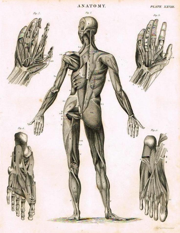 87 best Anatomie images on Pinterest   Human anatomy, Anatomy and ...
