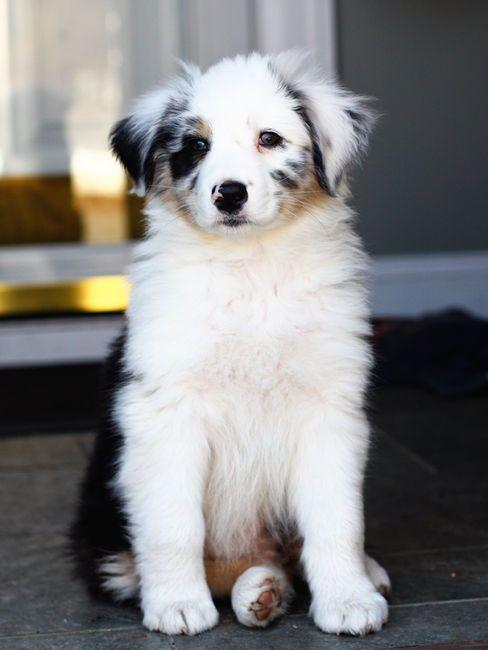 .: Australian Shepherd Dogs, Dogs Breeds, Australianshepherd, Aussies Puppies, Baby Animal, Blue Merle, Australian Shepherd Puppies, Dreams Life, Fluffy Puppies