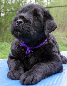 Black Russian Terrier puppy, looks just like our pup thor :)
