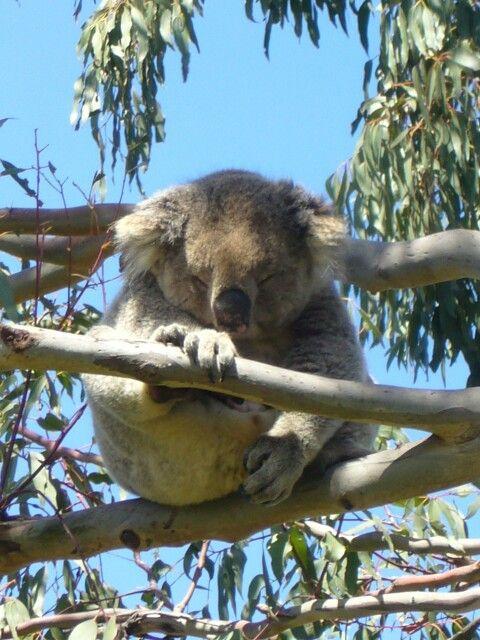 zou ik een Koalabeer kopen