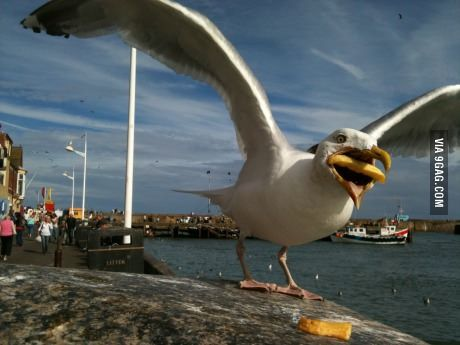 Seagull trying to eat a french fry.