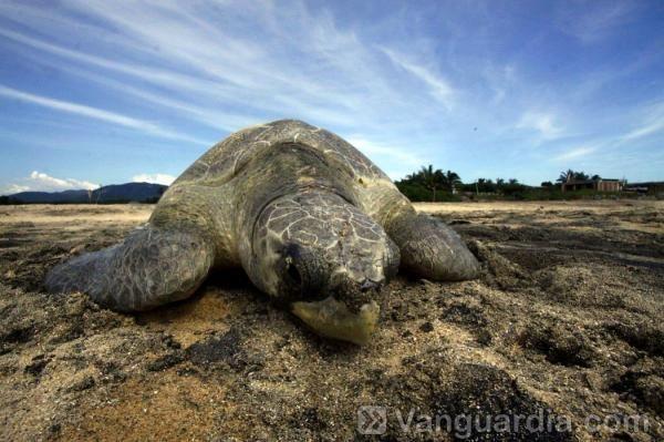 Una tortuga marina olivácea (Lepidochelys olivacea) llega a desovar en la playa Ixtapilla en la municipalidad de Aquila, en la costa pacífica de México. (AFP/Héctor Guerrero/VANGUARDIA LIBERAL)