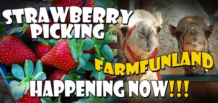 Where: Just west of Katy in Simonton What: Strawberries (through May); blackberries and blueberries (May and June) When: Strawberry-picking hours are limited to between 10 a.m. and noon on Saturdays Bonus: There's a whole host of other activities during the weekend for the kids at this family-friendly farm: petting zoos, pedal cars, hay rides, rope mazes, giant slides and more.