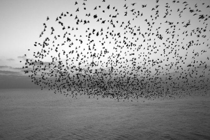ムクドリの群れの動きを数学的に解析した結果、各個体が1つの同じネットワークに接続されているような状態にあることが明らかになった。研究者は、物質の「臨界」系との相似を指摘している。