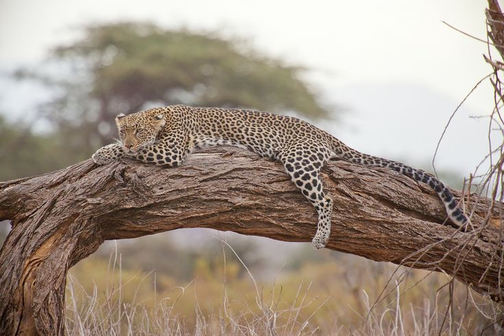 Leopards are classified as roaring cats but they usually bark when they have something to say.
