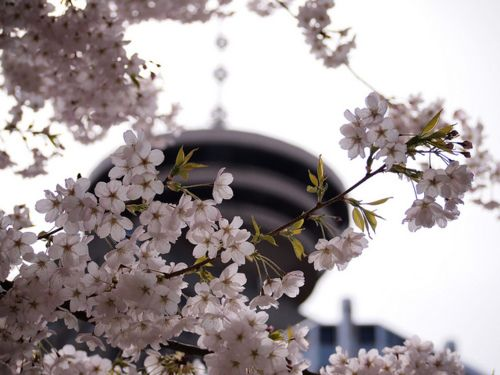 Vancouver cherry blossoms....