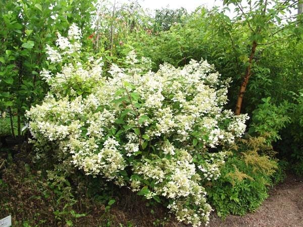 Hortensia 'Mustila'. Fantastiskt med en trädgårdshortensia för Norrland! Framtagen i Finland och får gräddvita upprättväxande blommor i juli-sept. Rekommenderas att placera friväxande eller i grupper. Blir ca 1,5 m hög.